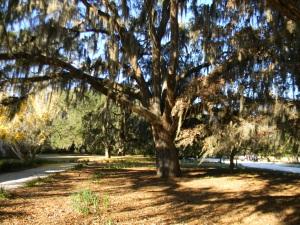 Honey Horn Oak Tree